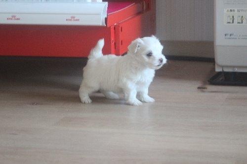 マルチーズの子犬(ID:1243411119)の6枚目の写真/更新日:2019-07-31