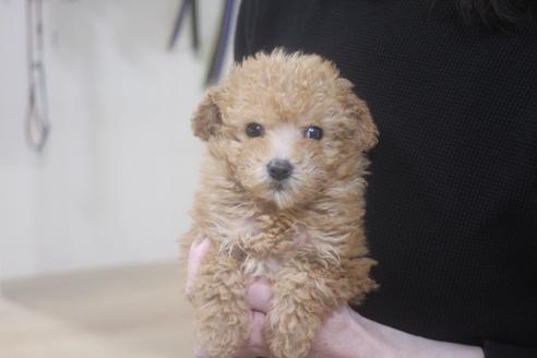 トイプードルの子犬(ID:1243411121)の1枚目の写真/更新日:2021-03-14