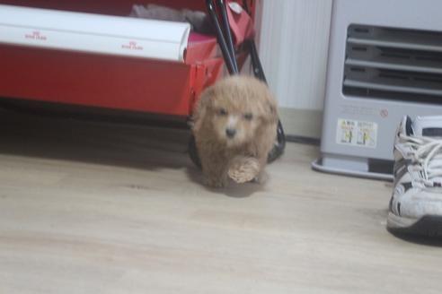 トイプードルの子犬(ID:1243411121)の2枚目の写真/更新日:2021-03-14