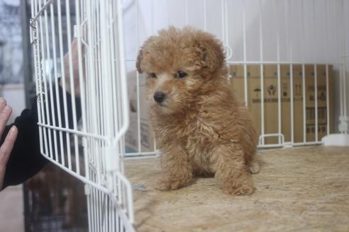 トイプードルの子犬(ID:1243411121)の4枚目の写真/更新日:2021-03-14