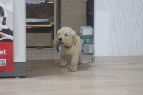 ゴールデンレトリバーの子犬(ID:1243411122)の2枚目の写真/更新日:2019-08-29