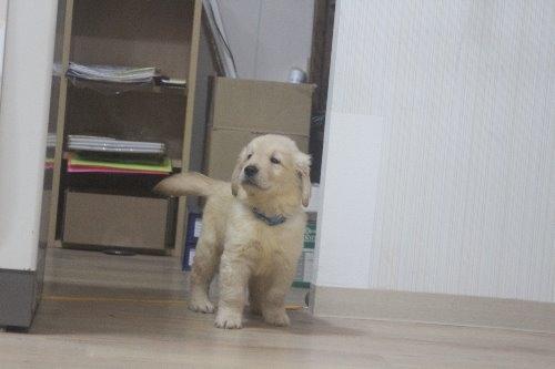 ゴールデンレトリバーの子犬(ID:1243411122)の3枚目の写真/更新日:2019-08-29