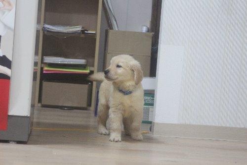 ゴールデンレトリバーの子犬(ID:1243411122)の4枚目の写真/更新日:2019-08-29