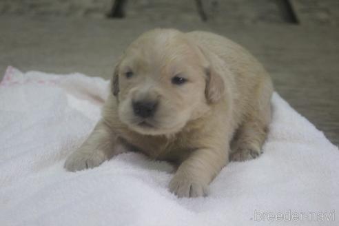 ゴールデンレトリバーの子犬(ID:1243411123)の1枚目の写真/更新日:2019-08-29