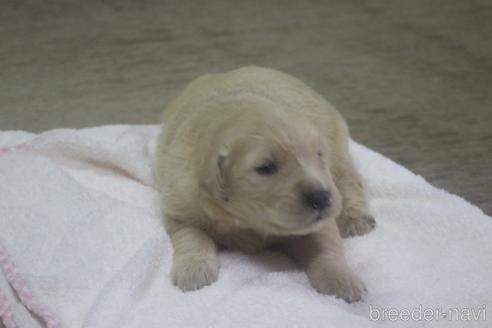 ゴールデンレトリバーの子犬(ID:1243411123)の2枚目の写真/更新日:2019-08-29