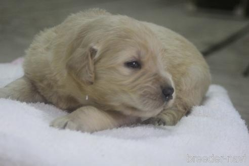 ゴールデンレトリバーの子犬(ID:1243411123)の4枚目の写真/更新日:2019-08-29