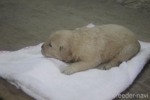 ゴールデンレトリバーの子犬(ID:1243411123)の5枚目の写真/更新日:2019-08-29