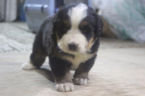 バーニーズ・マウンテン・ドッグの子犬(ID:1243411124)の1枚目の写真/更新日:2019-09-17