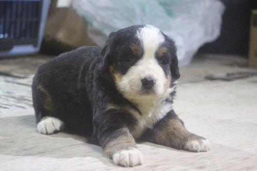 バーニーズ・マウンテン・ドッグの子犬(ID:1243411124)の2枚目の写真/更新日:2019-09-17