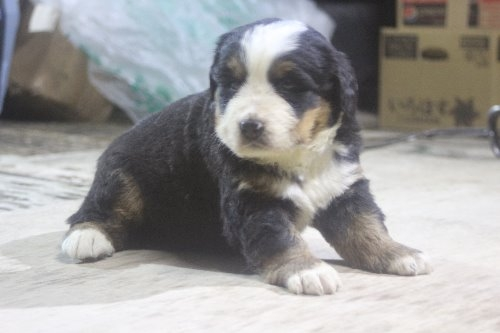バーニーズ・マウンテン・ドッグの子犬(ID:1243411124)の4枚目の写真/更新日:2019-09-17