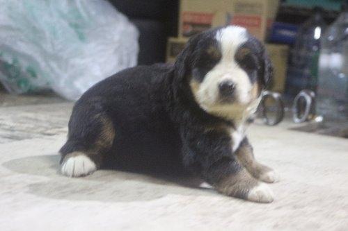 バーニーズ・マウンテン・ドッグの子犬(ID:1243411124)の5枚目の写真/更新日:2019-09-17