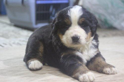 バーニーズ・マウンテン・ドッグの子犬(ID:1243411124)の6枚目の写真/更新日:2019-09-17