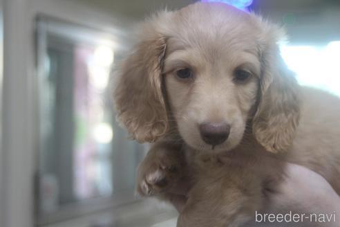 ミニチュアダックスフンド(ロング)の子犬(ID:1243411125)の4枚目の写真/更新日:2021-08-03