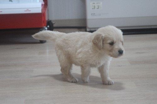 ゴールデンレトリバーの子犬(ID:1243411127)の1枚目の写真/更新日:2019-11-13