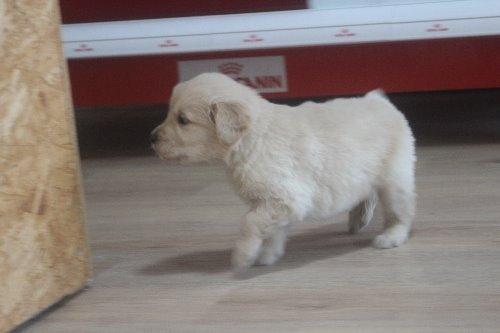 ゴールデンレトリバーの子犬(ID:1243411127)の3枚目の写真/更新日:2019-11-13