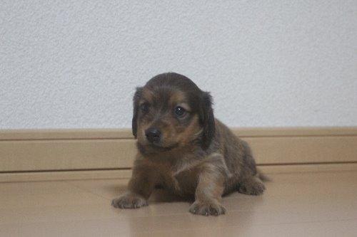 ミニチュアダックスフンド(ロング)の子犬(ID:1243411128)の1枚目の写真/更新日:2020-03-07