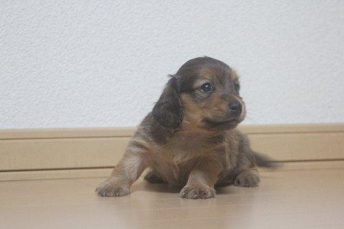 ミニチュアダックスフンド(ロング)の子犬(ID:1243411128)の2枚目の写真/更新日:2020-03-07