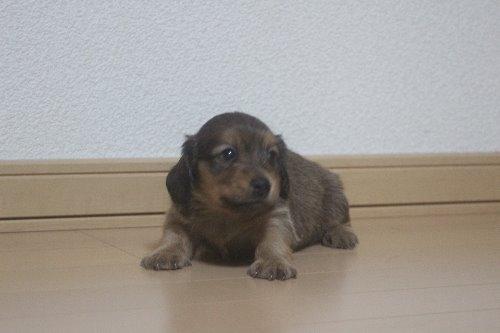 ミニチュアダックスフンド(ロング)の子犬(ID:1243411128)の5枚目の写真/更新日:2020-03-07