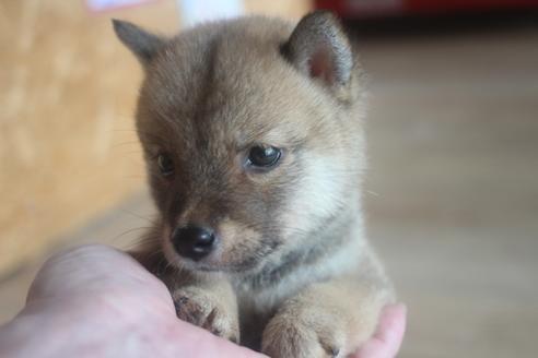 柴犬の子犬(ID:1243411129)の1枚目の写真/更新日:2020-08-28