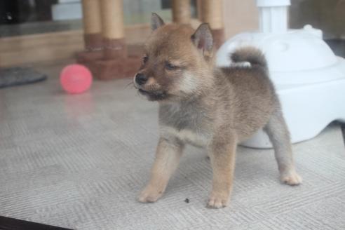 柴犬の子犬(ID:1243411129)の2枚目の写真/更新日:2020-08-28