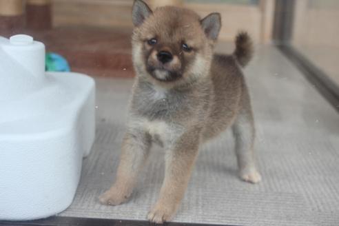 柴犬の子犬(ID:1243411129)の4枚目の写真/更新日:2020-08-28