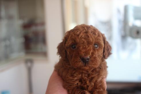 トイプードルの子犬(ID:1243411136)の1枚目の写真/更新日:2021-06-08