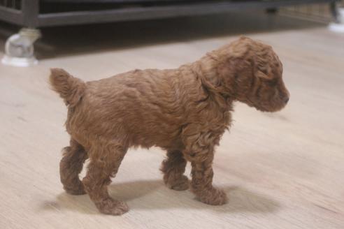 トイプードルの子犬(ID:1243411136)の2枚目の写真/更新日:2021-06-08