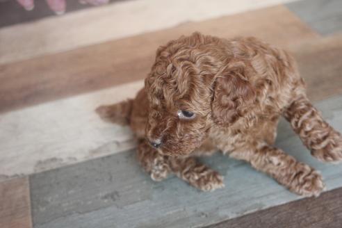トイプードルの子犬(ID:1243411136)の4枚目の写真/更新日:2021-06-08
