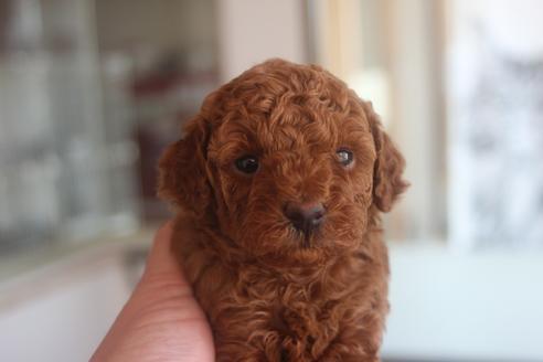 トイプードルの子犬(ID:1243411136)の5枚目の写真/更新日:2021-06-08
