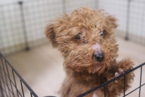 ミックスの子犬(ID:1243411138)の1枚目の写真/更新日:2021-04-09