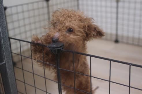 ミックスの子犬(ID:1243411138)の2枚目の写真/更新日:2021-04-09