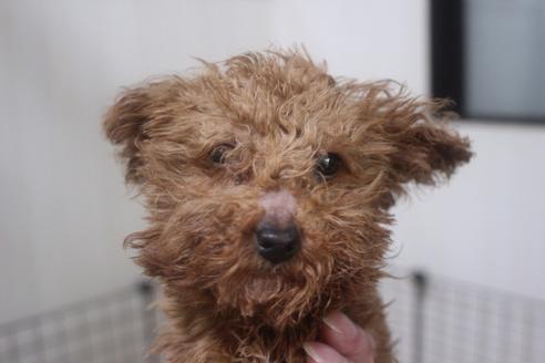 ミックスの子犬(ID:1243411138)の3枚目の写真/更新日:2021-04-09