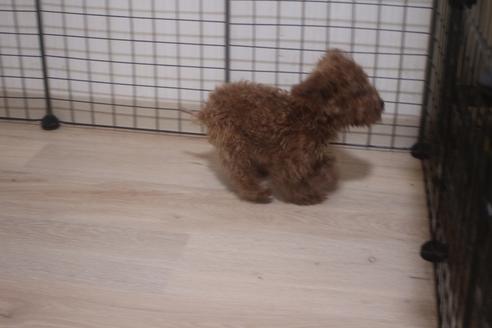 ミックスの子犬(ID:1243411138)の4枚目の写真/更新日:2021-04-09