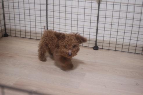 ミックスの子犬(ID:1243411138)の5枚目の写真/更新日:2021-04-09
