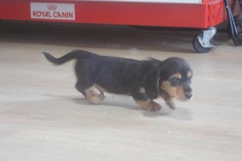 ミニチュアダックスフンド(ロング)の子犬(ID:1243411140)の5枚目の写真/更新日:2021-06-18
