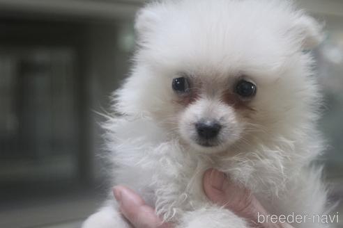 ポメラニアンの子犬(ID:1243411141)の1枚目の写真/更新日:2021-08-03