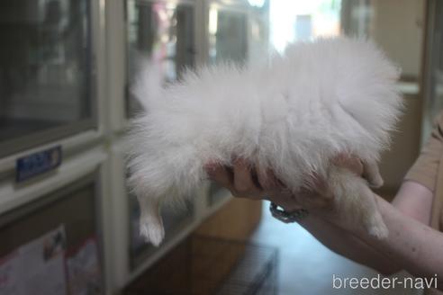 ポメラニアンの子犬(ID:1243411141)の4枚目の写真/更新日:2021-08-03