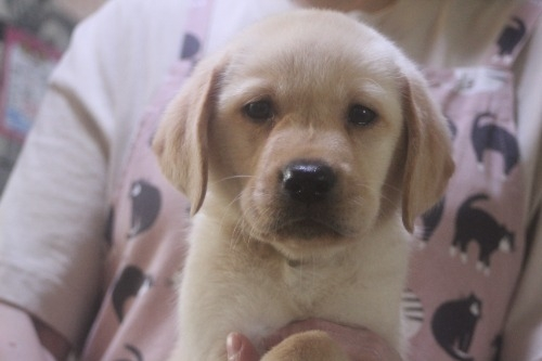 ラブラドールレトリバーの子犬(ID:1243411142)の1枚目の写真/更新日:2021-09-01