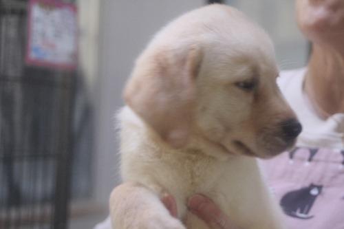 ラブラドールレトリバーの子犬(ID:1243411142)の4枚目の写真/更新日:2021-09-01