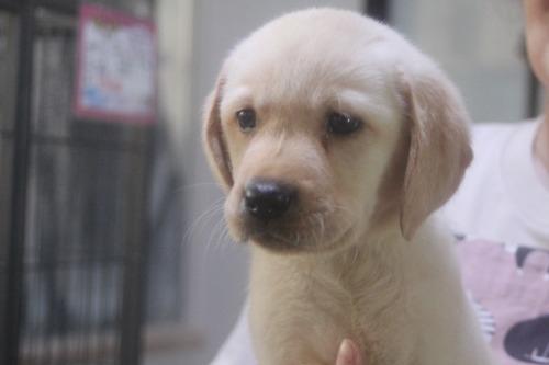 ラブラドールレトリバーの子犬(ID:1243411142)の5枚目の写真/更新日:2021-09-01