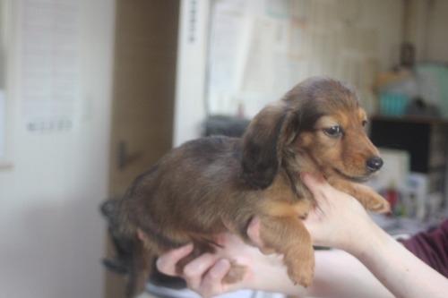 ミニチュアダックスフンド(ロング)の子犬(ID:1243411144)の5枚目の写真/更新日:2021-10-13