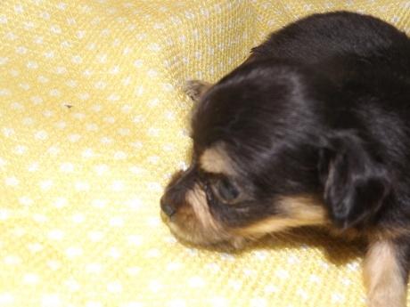 ミックスの子犬(ID:1244111165)の3枚目の写真/更新日:2017-02-10