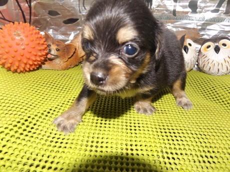 ミックスの子犬(ID:1244111166)の1枚目の写真/更新日:2017-02-10
