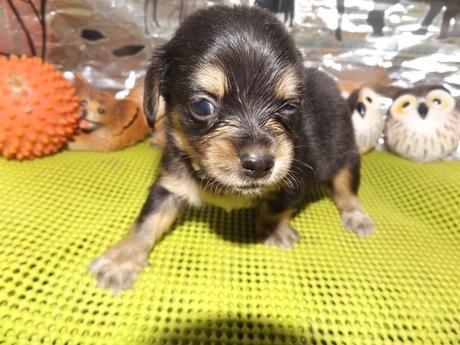 ミックスの子犬(ID:1244111166)の2枚目の写真/更新日:2017-02-10