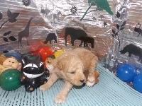 トイプードルの子犬(ID:1244111167)の3枚目の写真/更新日:2017-02-26