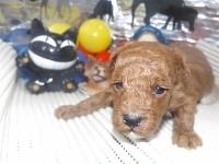 トイプードルの子犬(ID:1244111168)の2枚目の写真/更新日:2017-02-26