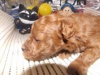 トイプードルの子犬(ID:1244111168)の3枚目の写真/更新日:2017-02-26