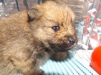 ポメラニアンの子犬(ID:1244111169)の1枚目の写真/更新日:2017-04-19