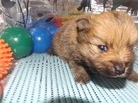 ポメラニアンの子犬(ID:1244111169)の2枚目の写真/更新日:2017-04-19