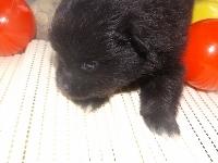 ポメラニアンの子犬(ID:1244111170)の3枚目の写真/更新日:2017-04-19